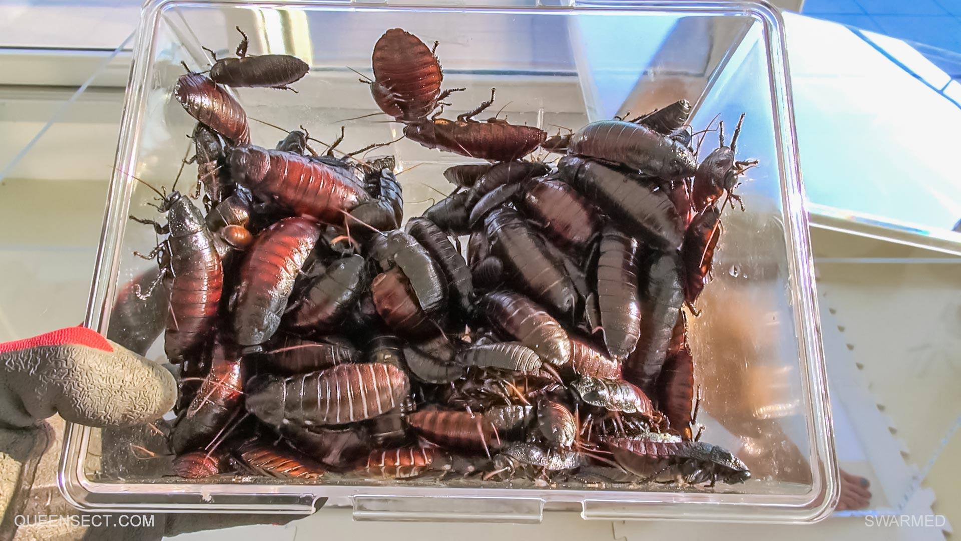 queensnake swarmed